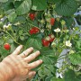 Would you like to grow over 50 kg of strawberries/m²/year?